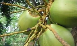Coconut: The Wonder Fruit