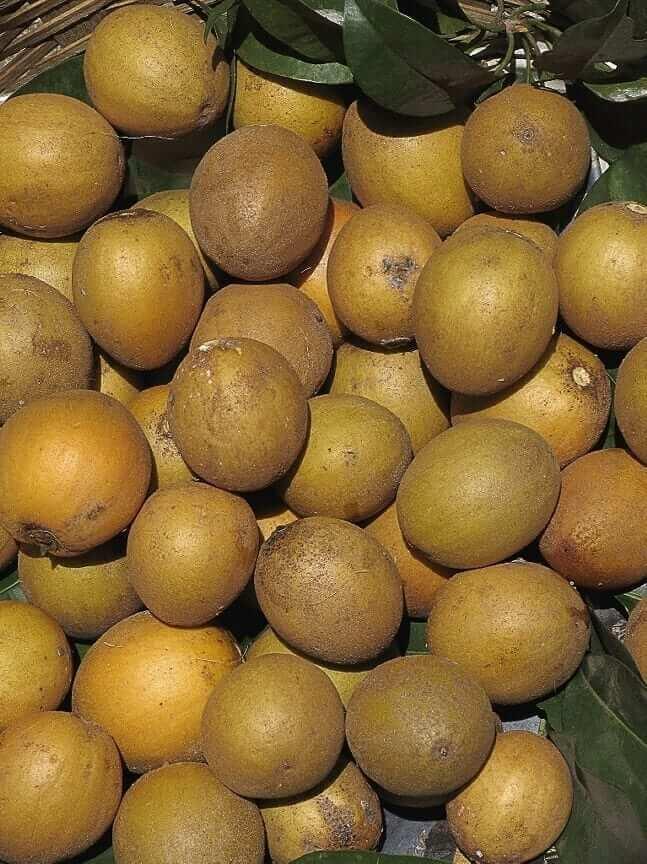 benefits of chico fruit - sapodilla