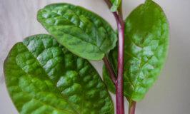 Malabar Spinach Benefits